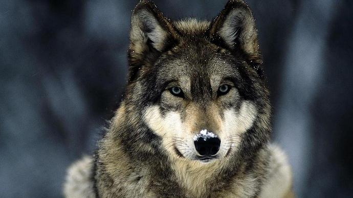 1920x1200-px-animals-wolf-750421-wallhere.com